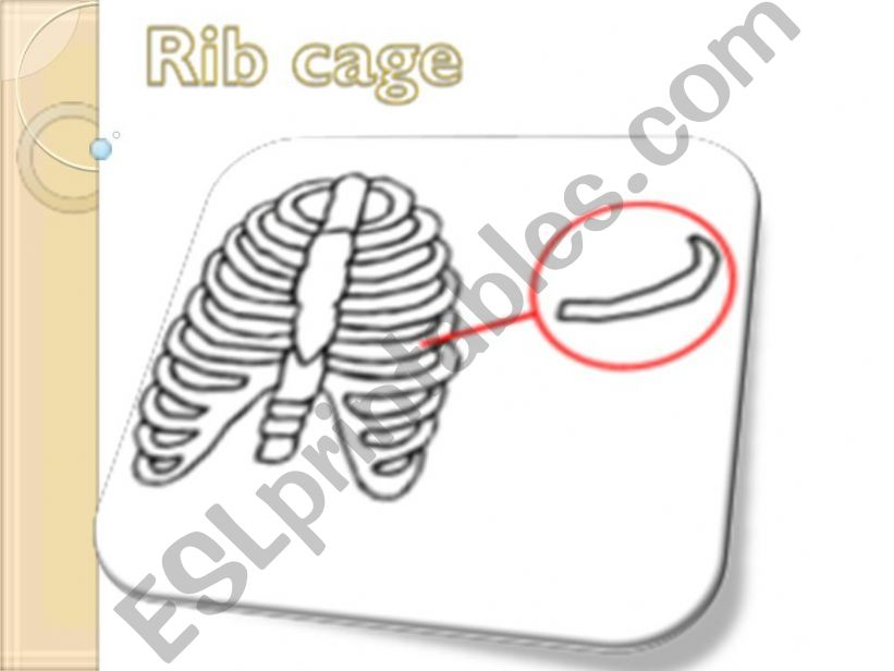 Internal Body Organs 2nd part powerpoint
