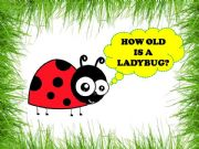English powerpoint: HOW OLD IS A LADYBUG?