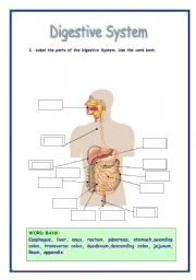 English Worksheet: DIGESTIVE SYSTEM VOCABULARY