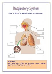Printables Respiratory System Worksheets english teaching worksheets respiratory system system