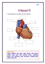 English Worksheet: Parts of the Heart
