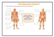 English Worksheet: THE MUSCULAR SYSTEM