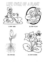English Worksheet: LIFE CYCLE OF A PLANT