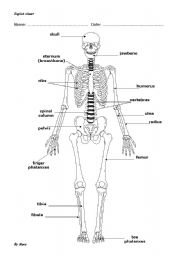 OUR SKELETON: BONES