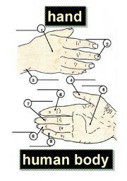 English Worksheets: HAND - BODY PARTS - HUMAN BODY - 1 knuckle,5 palm,9 little finger,2 fingernail,6 index finger,3 wrist,7 middle finger,4 thumb,8 ring finger