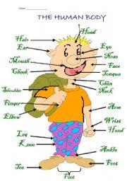 English Worksheet: The Human body