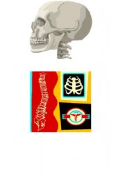English Worksheets: flash cards to practice skull backbone ribs femur biceps