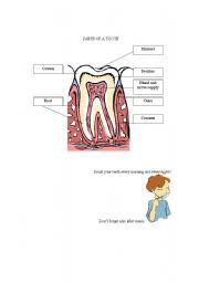 English Worksheets: parts of a tooth