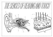English Worksheets: The senses (2): hearing and touch
