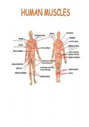 English Worksheet: HUMAN MUSCLES
