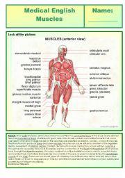 English Worksheet: Medical English - muscles