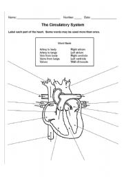 The Circulatory System - ESL worksheet by zeromeus