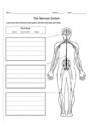 English Worksheet: The Nervous System