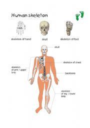 English Worksheets: Human skleton
