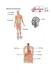 English Worksheets: human muscles