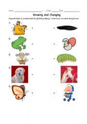 English Worksheets: growing animals