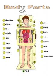 English Worksheet: BODY PARTS: X-RAY