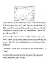 english worksheets javelina is a pig. Black Bedroom Furniture Sets. Home Design Ideas