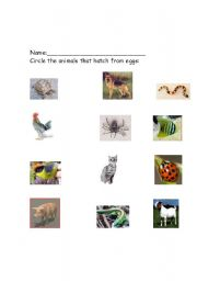 English worksheets: animals that hatch from eggs