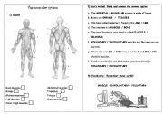 English Worksheet: Science - Muscular System