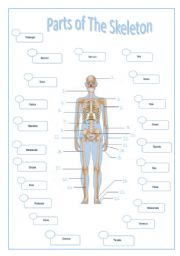 English Worksheets: PARTS OF THE SKELETON