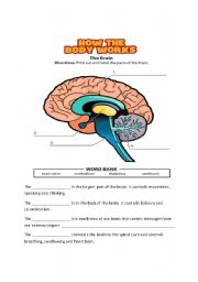 English Worksheet: Parts of the Brain
