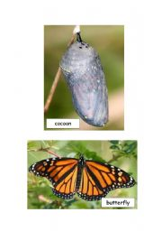 English Worksheet: Flashcards - Life Cycle of a Butterfly