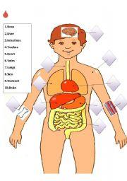 Match the internal organs