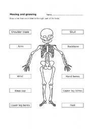 English Worksheets: Human skeleton