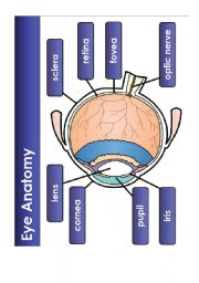 English Worksheets: The eye