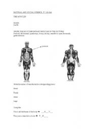 English Worksheet: the muscles