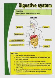 English Worksheet: Basic digestive system