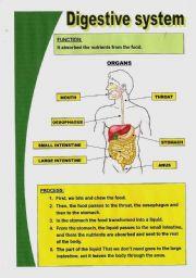 English Worksheets: Basic digestive system