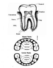 English Worksheets: parts of teeth