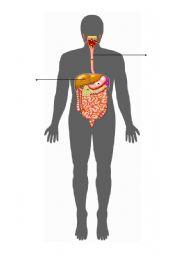 English Worksheets: digestive system