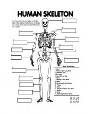 English worksheet: Skeletal System