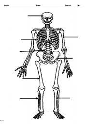 English Worksheets: The skeleton