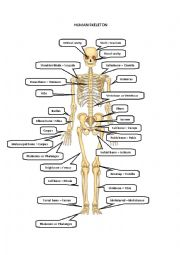 English Worksheet: HUMAN SKELETON