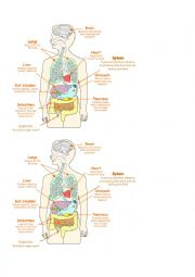 English Worksheet: Major Body Organs Diagram