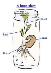 English Worksheet: Bean Parts