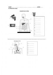 English Worksheet: BREATHING AND DIGESTIVE SYSTEM
