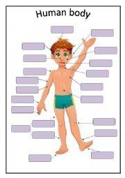 English Worksheet: Human body - basic vocabulary