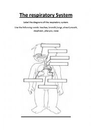 English Worksheet: The Respiratory System. Label the parts.Three worksheets. Great for CLIL