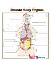 English Worksheet: Human Body Organs Vocabulary