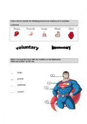 English Worksheet: Muscles worksheet