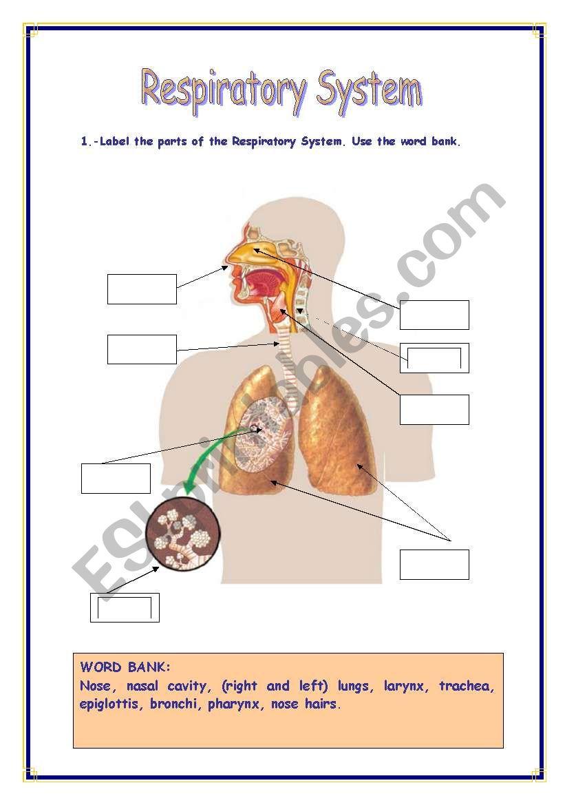 RESPIRATORY SYSTEM - ESL worksheet by Refuerzo For The Respiratory System Worksheet