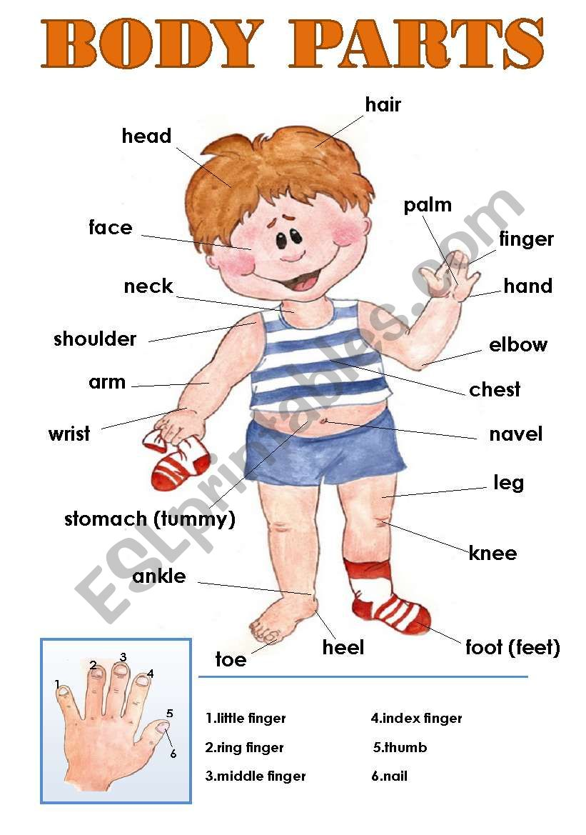BODY PARTS CLASSROOM POSTER!  worksheet