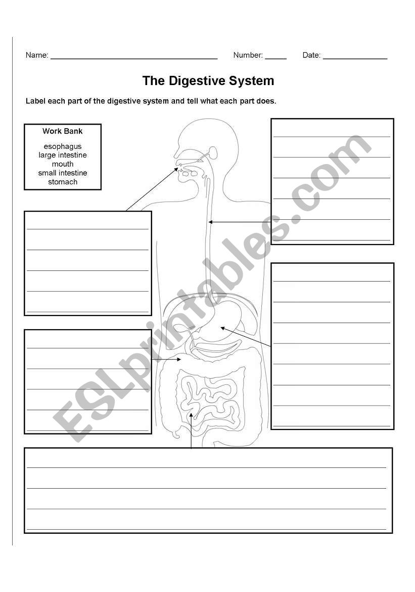 The Digestive System worksheet