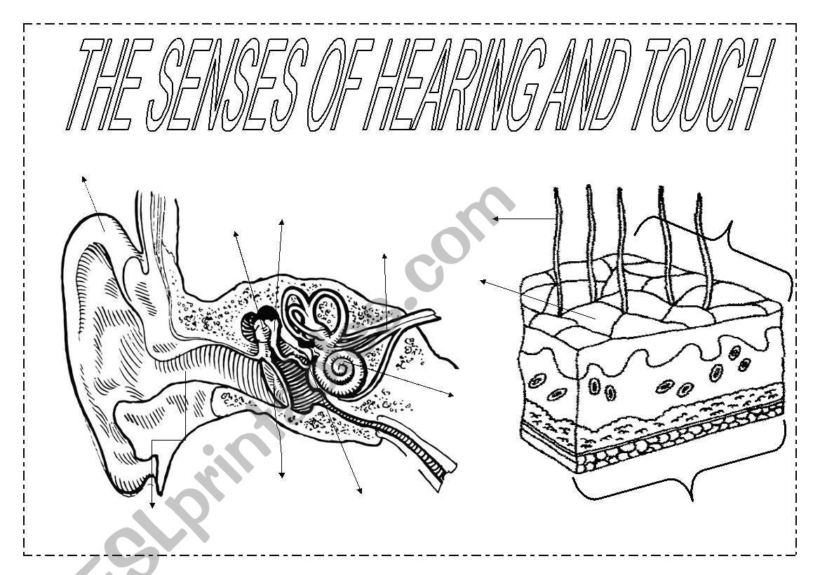 The senses (2): hearing and touch