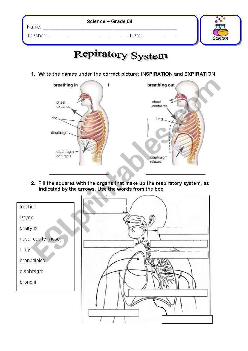 Respiratory System Review worksheet